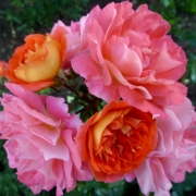 Розы Братья Гримм