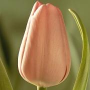 Тюльпаны Дуглас Бейдер