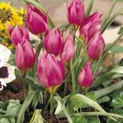 Тюльпаны Маравилла