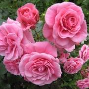 Розы Дорошенхлосс Сабабург
