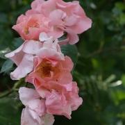 Розы Саммер Вайн