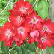 Розы Роте Макс Граф