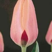 Тюльпаны Мирелла