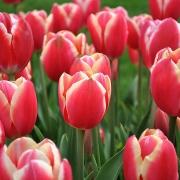 Тюльпаны Пиранд