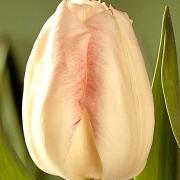 Тюльпаны Акела