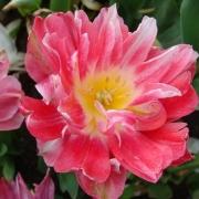 Тюльпаны Джетсет