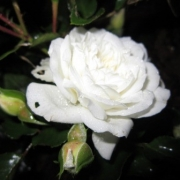 Roses Icy Drift (Meipicdevoj)