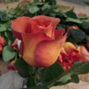Розы Кофе Брейк
