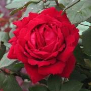 Розы Ботеро