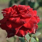 Розы Баркароль