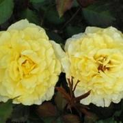 Розы Кармелита