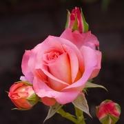 Розы Цикламен