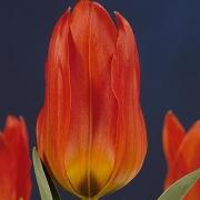 Тюльпаны Роберт Шуллер