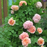 Розы Алхимик
