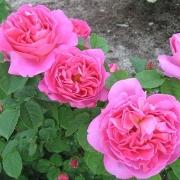 Розы Мадам Бовари