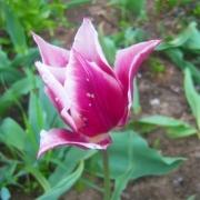 Тюльпаны Клаудия