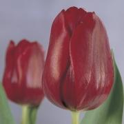 Тюльпаны Паллада