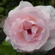 Розы Гранд Сиекл