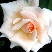 Розы Мауи