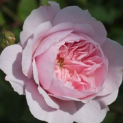 Розы Вислей 2008