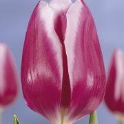Тюльпаны Арабиан Леди