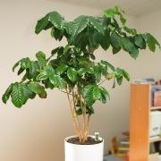 Комнатные растения Кофейное дерево