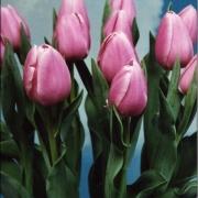 Тюльпаны Лима