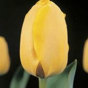 Тюльпаны Голден Танго