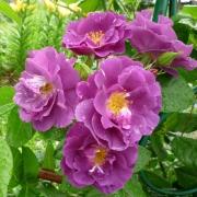 Розы Рапсоди ин Блю