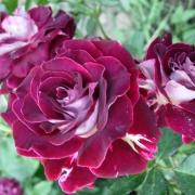 Розы Милле ет Уне Нуитс