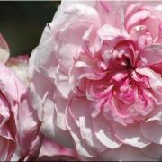 Розы Орсола Спинола