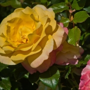 Розы Роуз дер Хоффнунг