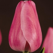 Тюльпаны Принцесс Элизабет