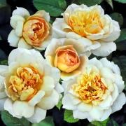Розы Марк-Энтони Чарпентиер