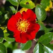 Розы Роял Бассино