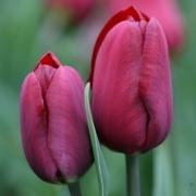Тюльпаны Жан Руи