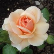 Розы Элизабет Стюарт