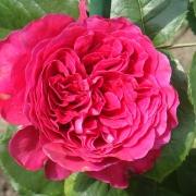 Розы Алаин Сушон