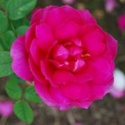 Розы Вайс Портиа
