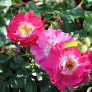 Розы Липстик