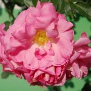 Розы Манита