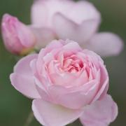 Розы Джентл Хермионе