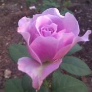 Розы Лавендер Айс
