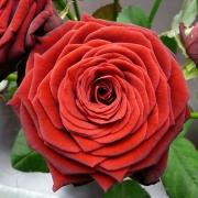 Розы Ред Наоми