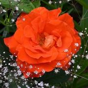 Розы Супер Трупер