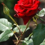 Розы Блэк Мейджик
