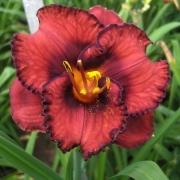 Daylily Berrylicious