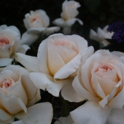 Розы Телетон