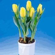Тюльпаны Йеллоу Каб