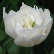 Тюльпаны Маурин Дабл